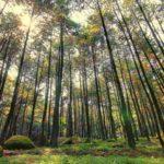 Wisata Hutan Pinus yang Asri dan Menarik di Pulau Jawa