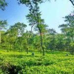 Hijaunya Kebun Teh Wonosari Malang – Sejuk dan Menyegarkan