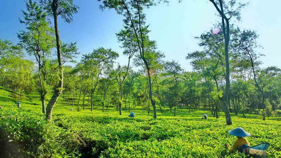 Hijaunya Kebun Teh Wonosari Malang